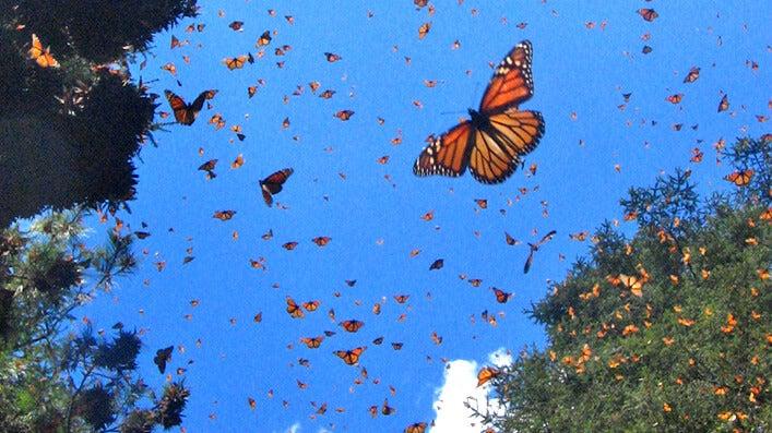 borboletas no céu
