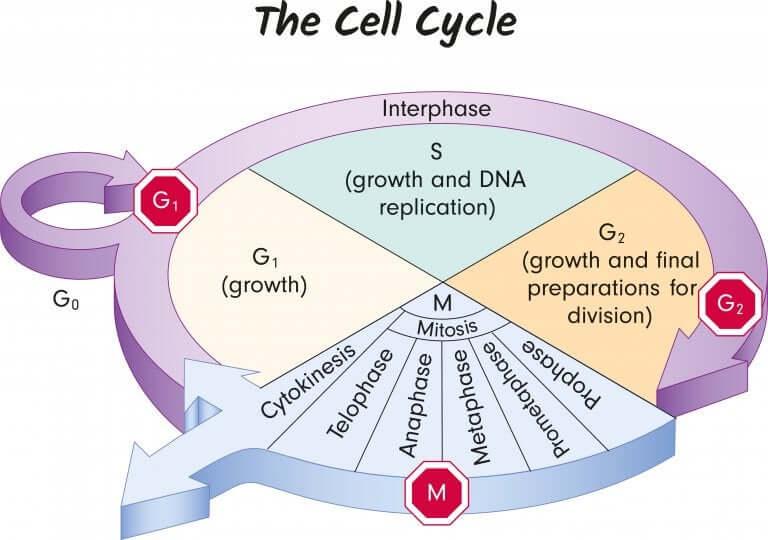 Genética para crianças. O que é o ciclo celular?