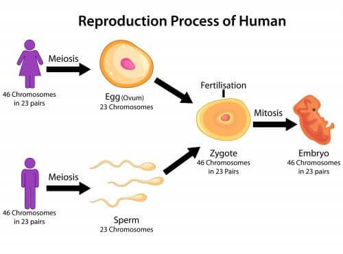 explicar as fases da meiose